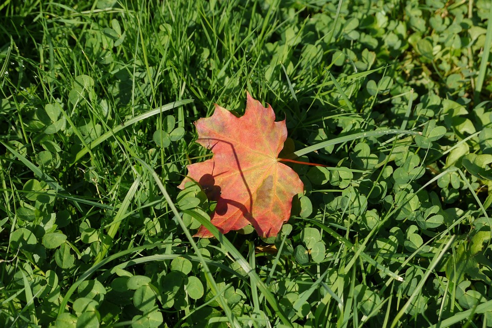 Grass, Sheet, Autumn Leaf, Closeup, Greens