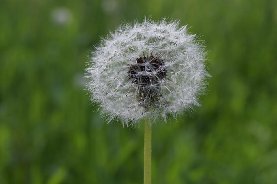 Dandelion, Glade, Greens, Summer