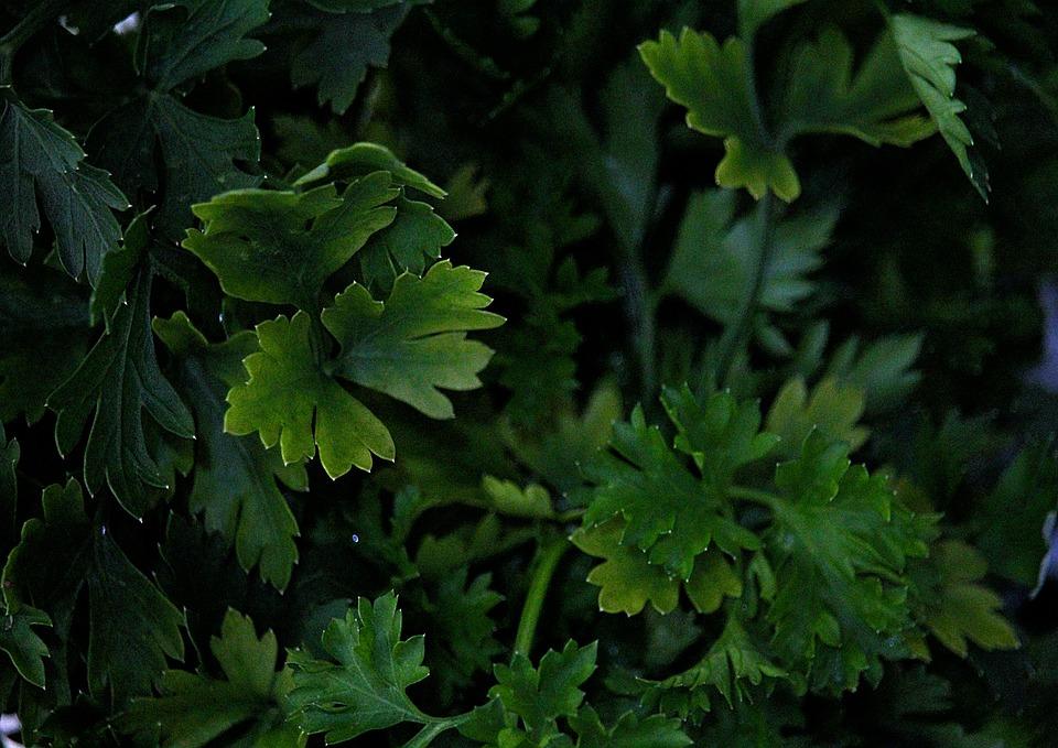 Parsley, Salad, Nutrition, Healthy, Greens, Green