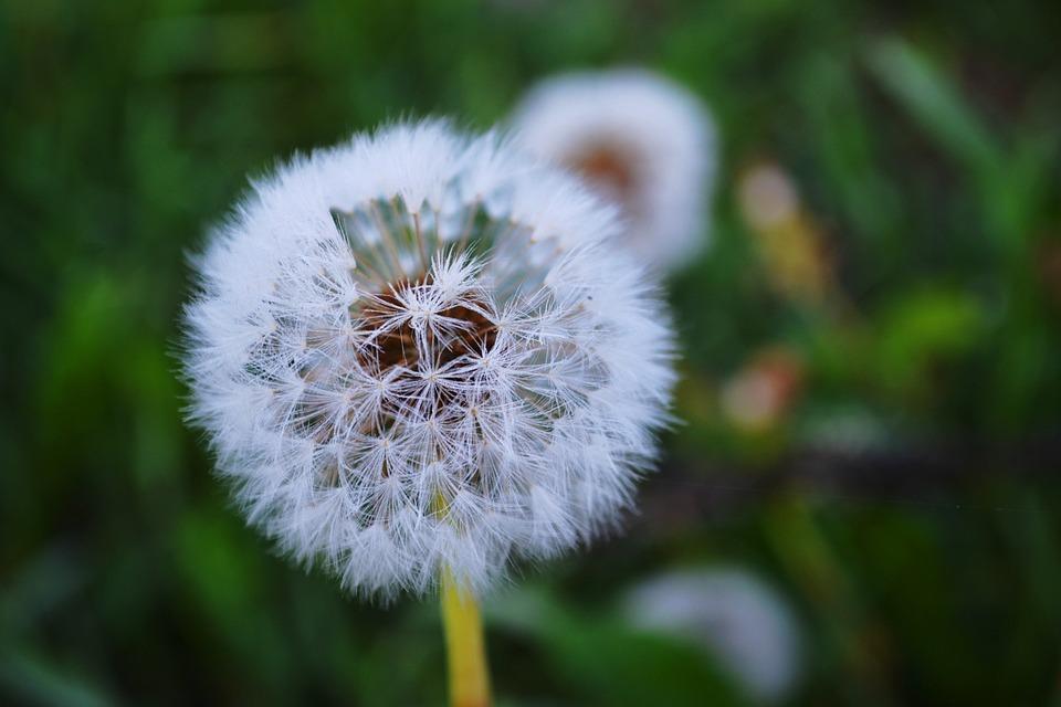 Nature, Dandelion, Greens
