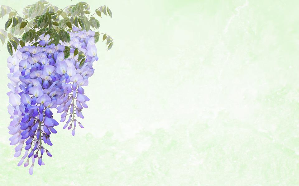 Greeting Card, Wisteria, Flower, Invitation