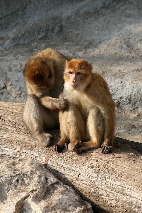 Monkey, Apes, A Couple Of, Gregarious, Kurkászik