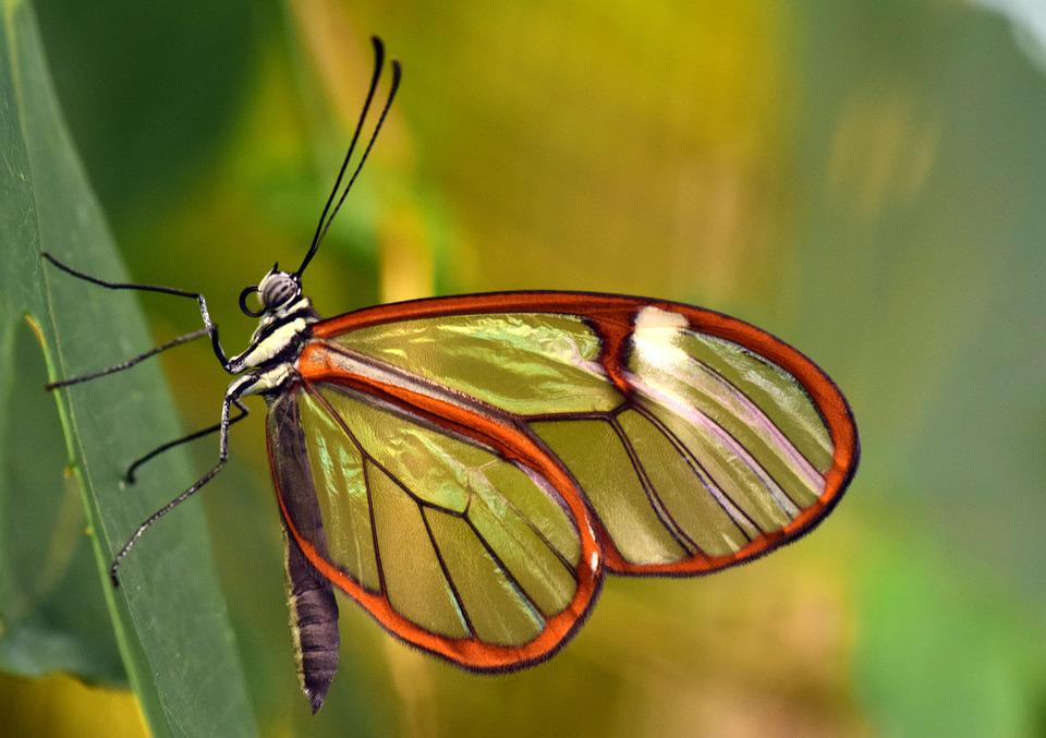 Butterfly, Glass Wings, Greta Oto, Glass Falter, Close