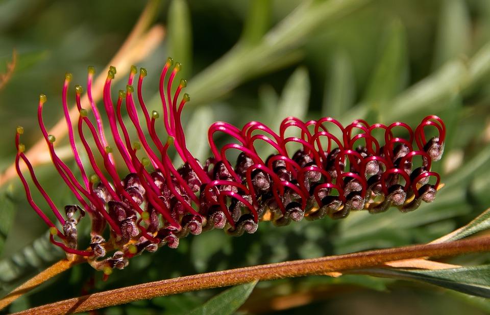 Grevillea, Flower, Australian, Native, Red, Nectar