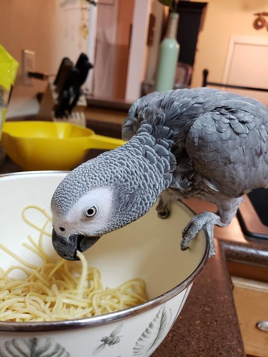 African, Grey, Parrot