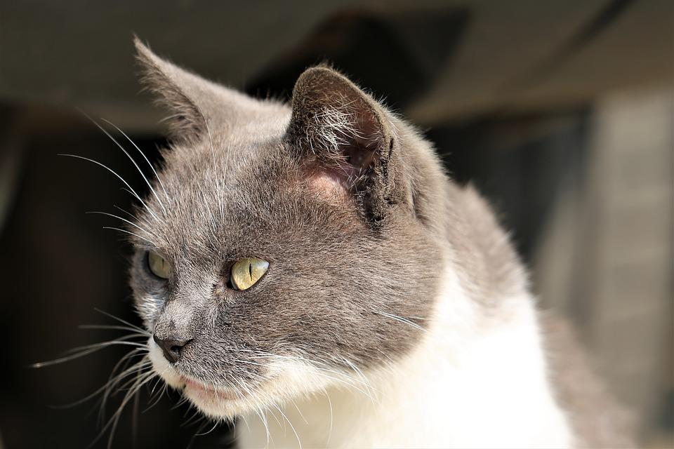 Cat, Animal, Head, Grey And White, Domestic, Sweet