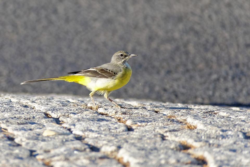 Bird, Grey Wagtail, Animal World, Yellow, Grey
