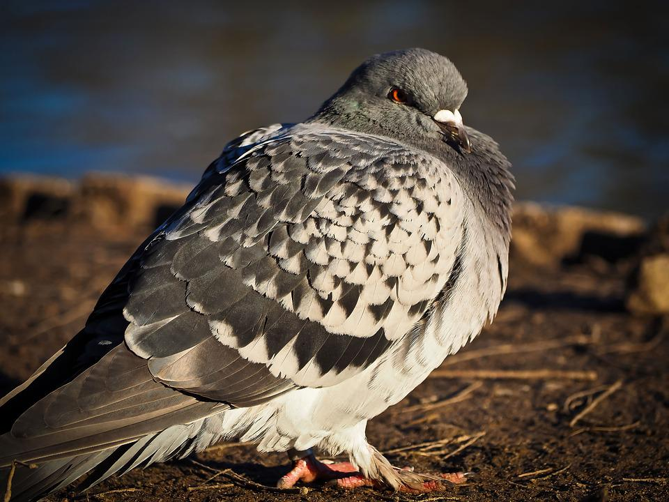 Dove, Bird, Animal, Nature, Animal World, Grey