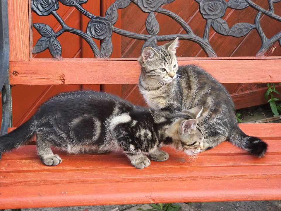 Cats, Kittens, Cute Cat, Animals, Pet, Grey, Animal