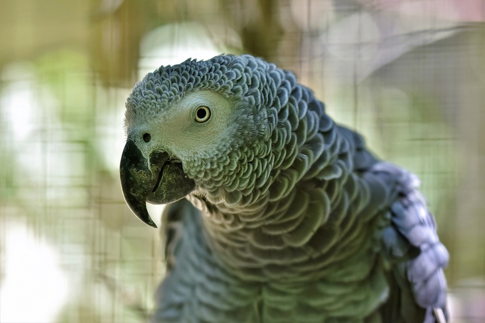 African Grey Parrot, Parrot, Bird, Plumage, Grey, Bill