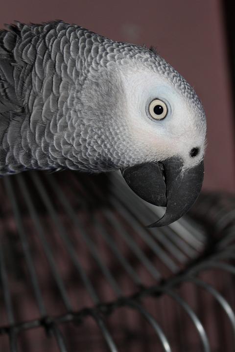 Grey, Parrot, Bird, Pet