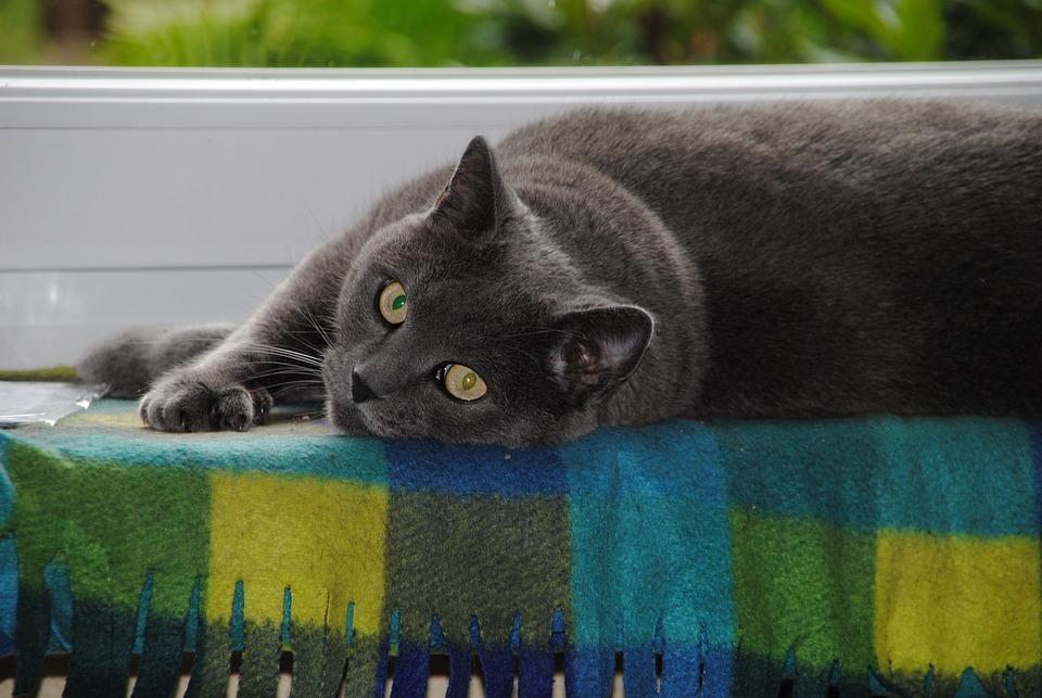 Cat, Grey, Animal, Domestic Cat, Felidae