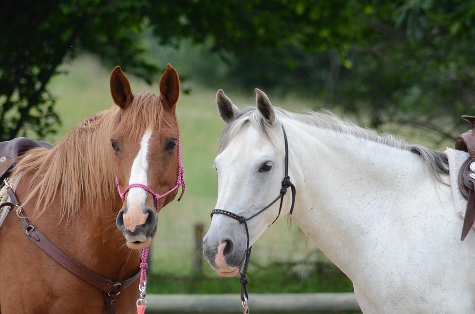 Horses, Chestnut, Grey, Animals
