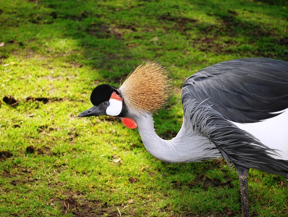 Grey Crowned Crane, Crane, Balearica Regulorum, Exotic