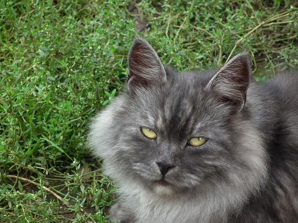 Cat, Cat's Eye, Cute, Kitten, Animals, Grey, Fluffy Cat