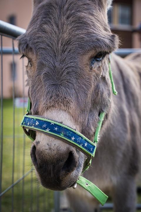 Donkey, Animal, Grey, Farm, Head, Nature, Mule, Ears