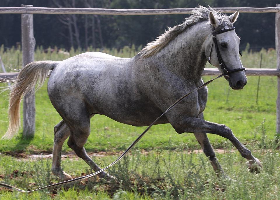 Horse, Grey Horse, Equine, Stallion, Mammal, Mane, Grey