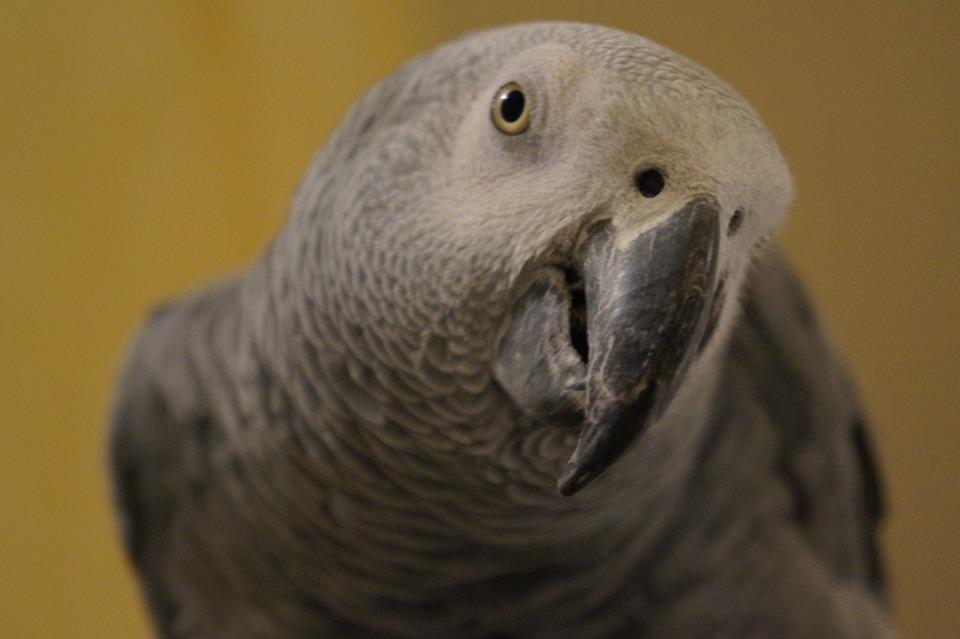 Grey, Parrot, Gabon, Bird, Nature