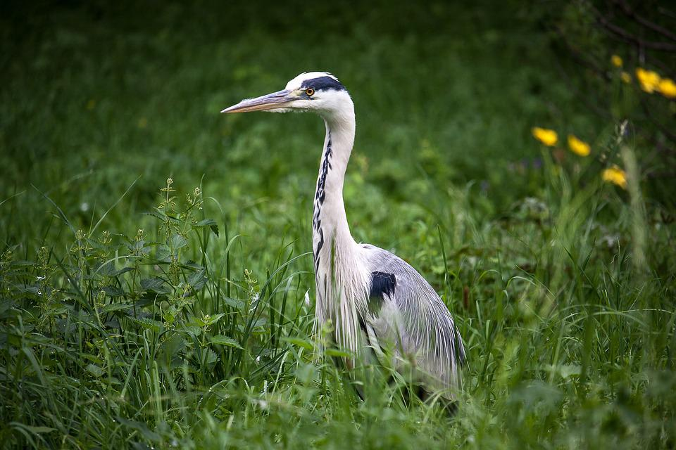 Heron, Grey Heron, Bird