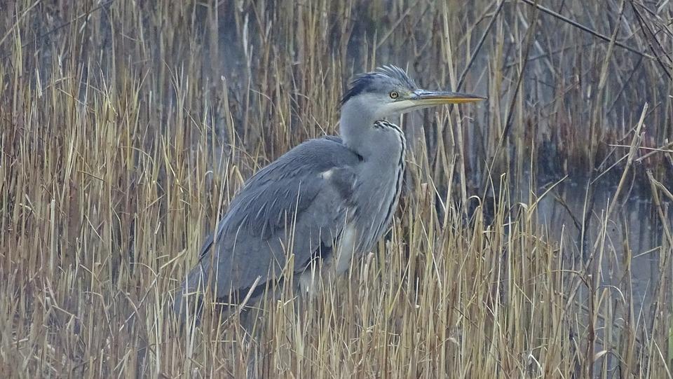 Grey Heron, Grey, Bird, Nature, Plumage, Waterfowl