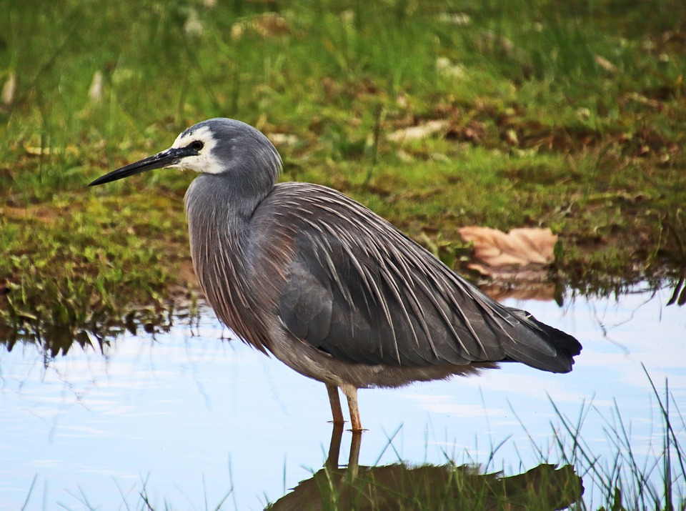 Bird, Grey, Heron, Wading, Wildlife, Lake, Nature