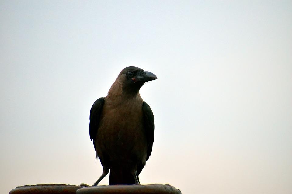 House Crow, Corvus, Bird, Grey Necked
