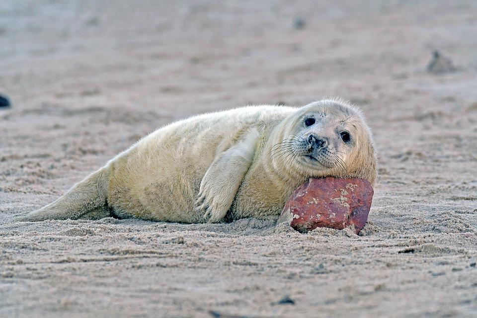 Grey Seal, Seal Baby, Helgoland, Robbe
