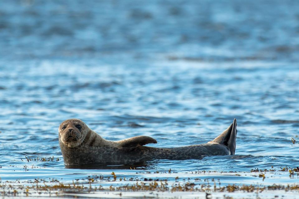 Grey Seal, Animal, Seal, Scotland, Sea, Blue, Water