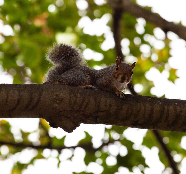 Grey Squirrel, Squirrel Watching, Squirrel In Tree