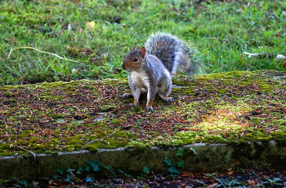 Grey Squirrel, Squirrel Watching, Squirrel, Cute, Grey