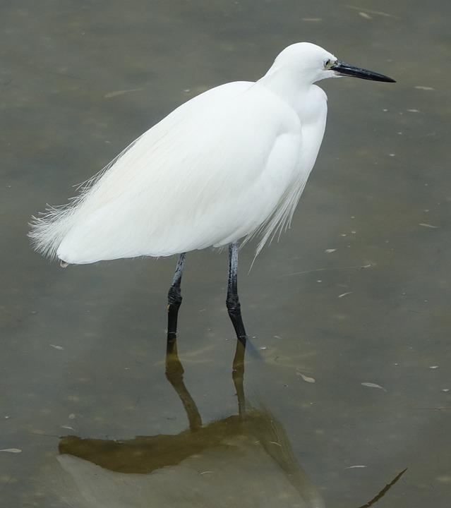 Bird, Egret Fishing, Grey Time, Ile De Noirmoutier