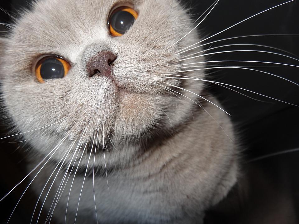 Cat, Grey, Feline, Look, British, Whiskers