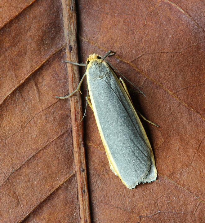 Common-footman, Moth, Wings, Grey, Yellow, Insect