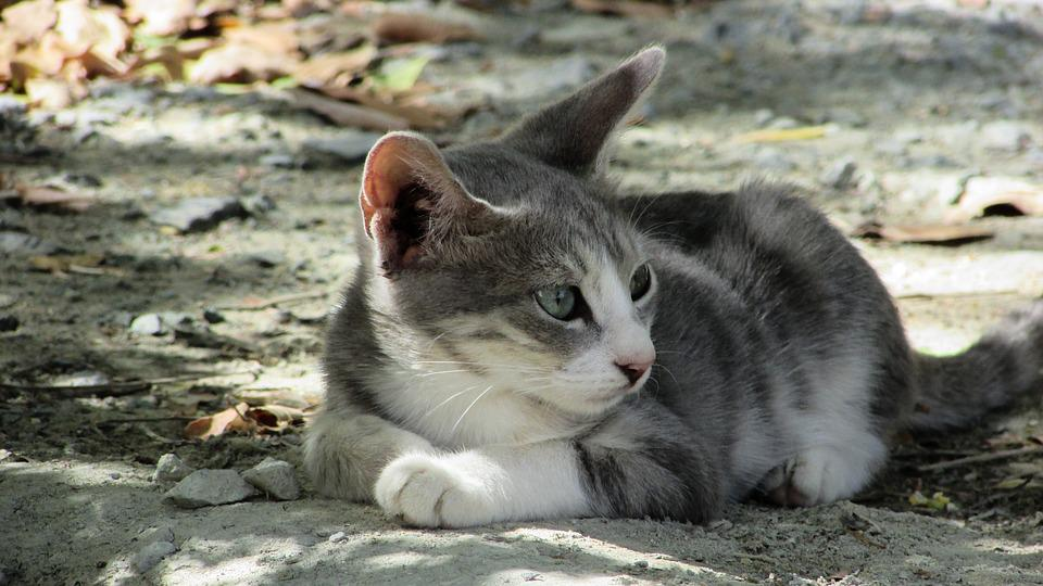 Cat, Young, Animal, Cute, Grey, Kitten, Adorable, Aware