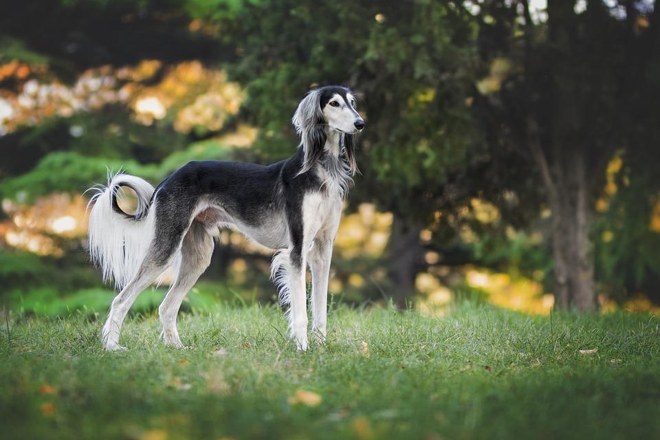 Free photo Greyhound Saluki Animal Dog Love Pet Nature - Max Pixel