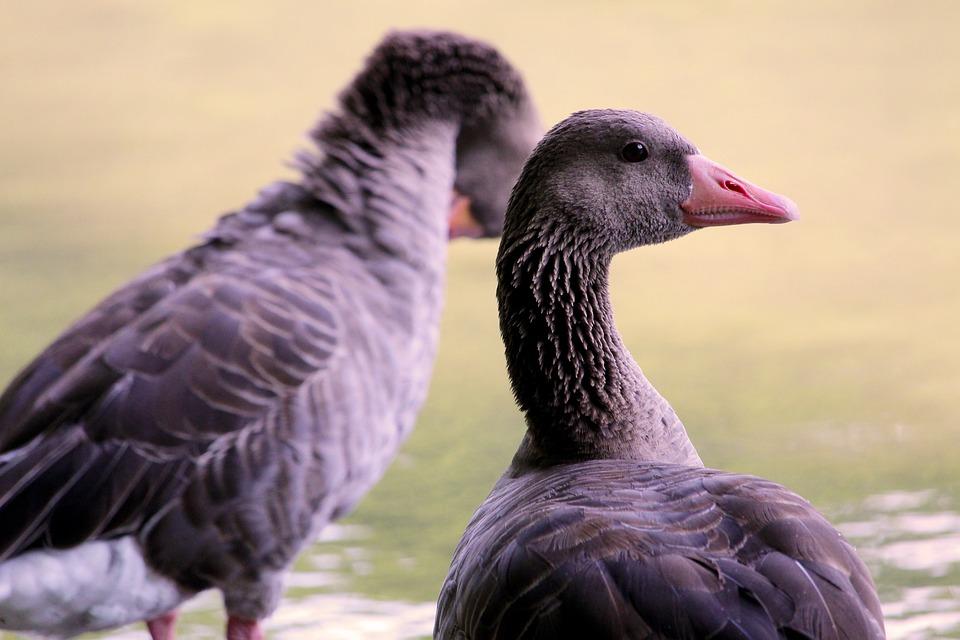 Greylag Goose, Water Bird, Bird, Goose, Poultry, Nature