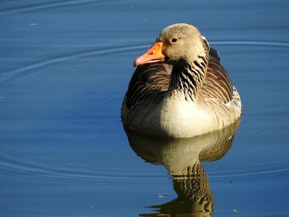 Wild Goose, Goose, Water Bird, Water, Greylag Goose