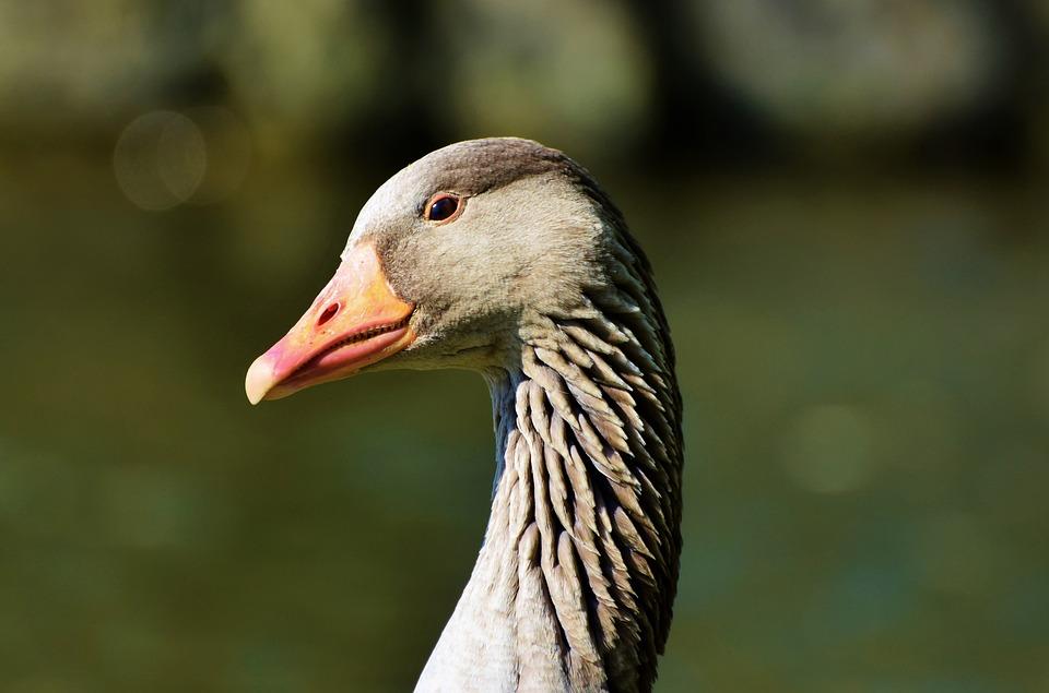 Wild Goose, Greylag Goose, Water Bird, Wild Bird