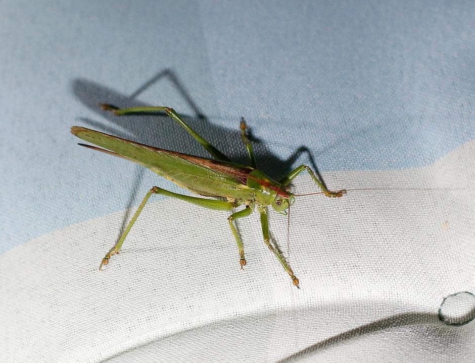 Grasshopper, Insect, Viridissima, Grille, Biodiversity