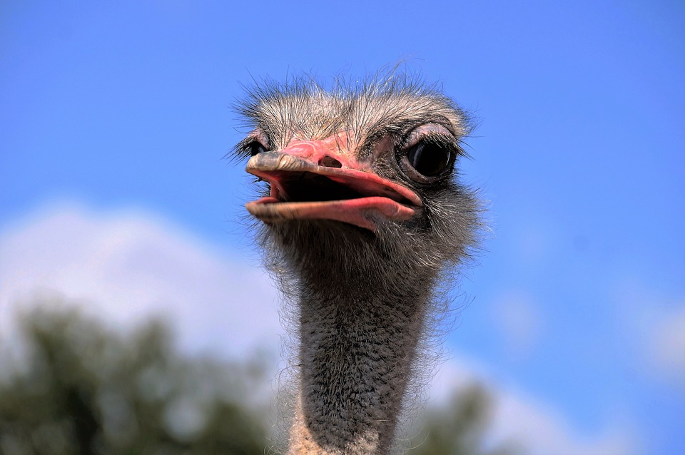 The Ostrich, Head, Grimace, View, Stupid, Bird