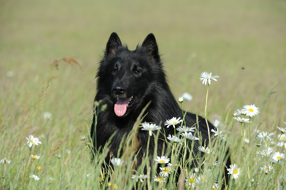 Dog, Purebred Dog, Groenendael, Black, Animal