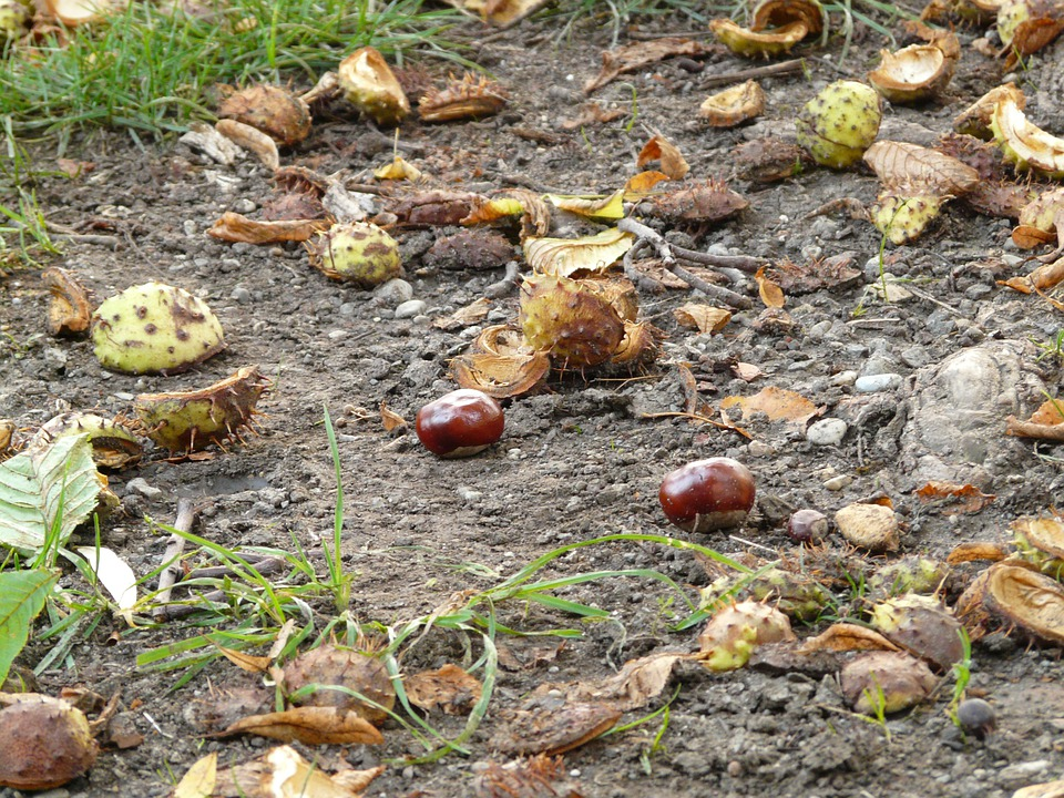 Chestnut, Buckeye, Fruit, Concerns, Ground, Collect