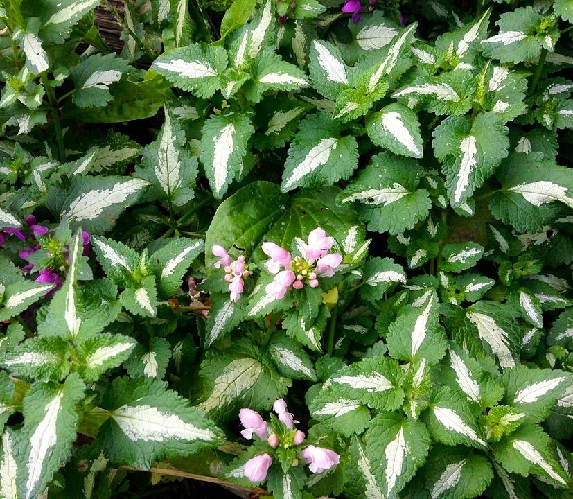 Dead-nettle, Ground Cover, Perennial, Green