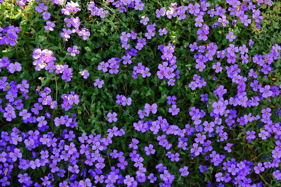 Spring, Stone Garden, Violet, Ground Cover