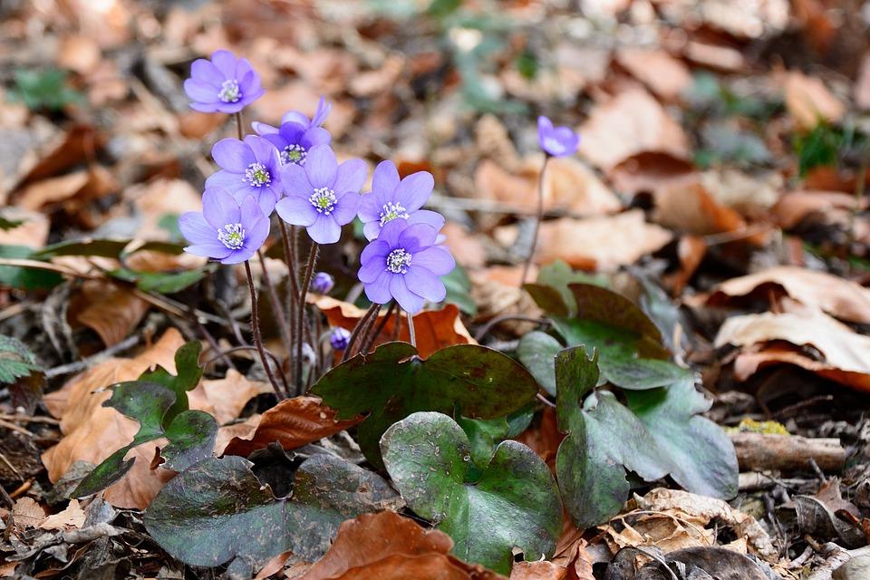Hepatica, Blossom, Bloom, Flower, Bloom, Spring, Ground