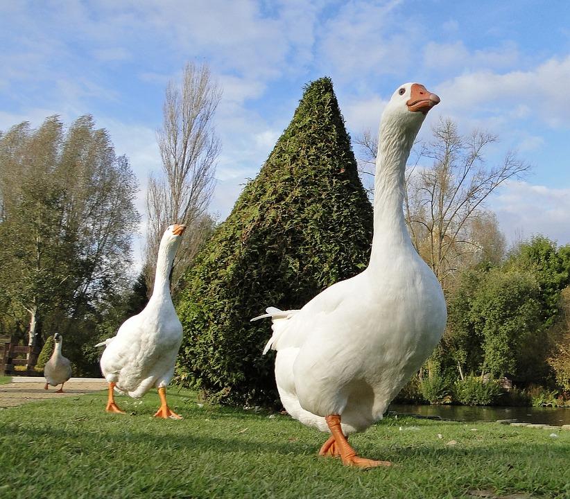 Goose, Park, White, Animal, Group, Birds, Pond, Plumage