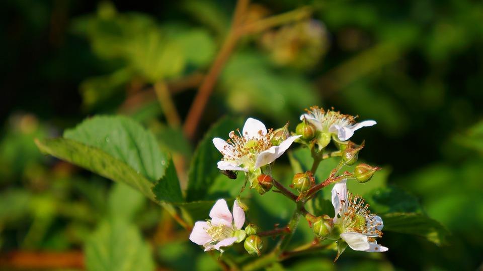 Nature, Plants, Flowers, Sprig, Group, Blackberries