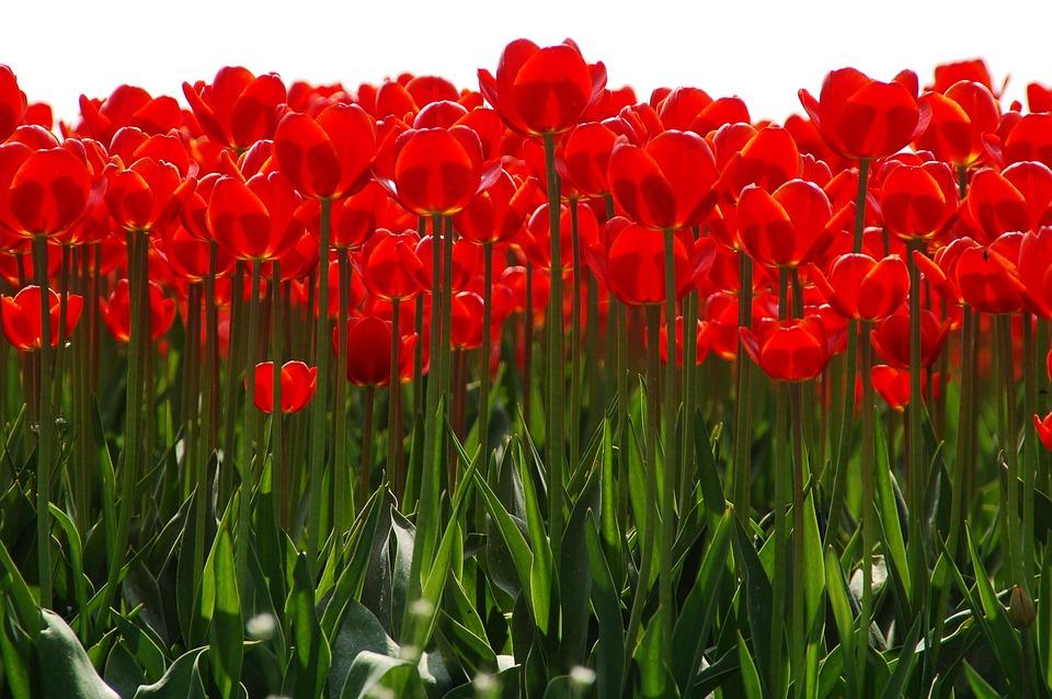 Tulip, Plant, Nature, Garden, Flowers, Group, Sun