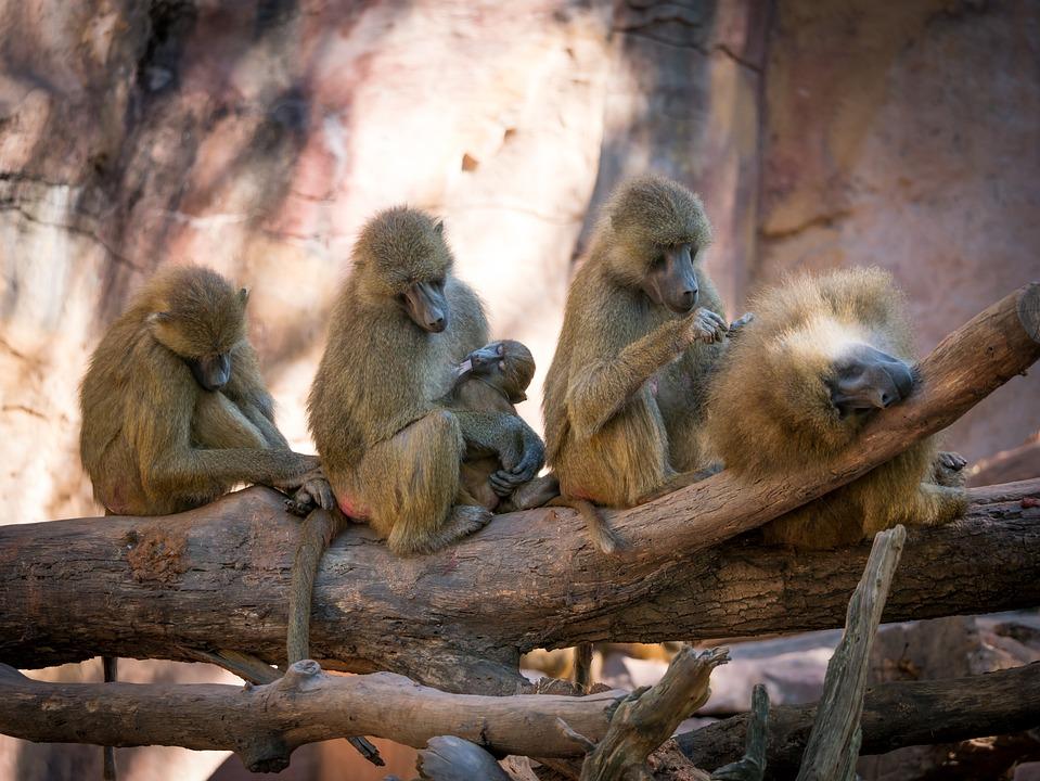 Baboon, Monkey, Group, Sleep, Suckle, Milk, Zoo, Nature