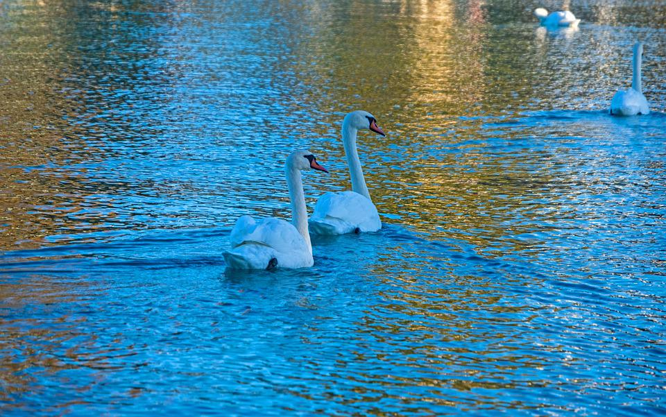 Swan, White, Pride, Animal, Group, Bird, Water